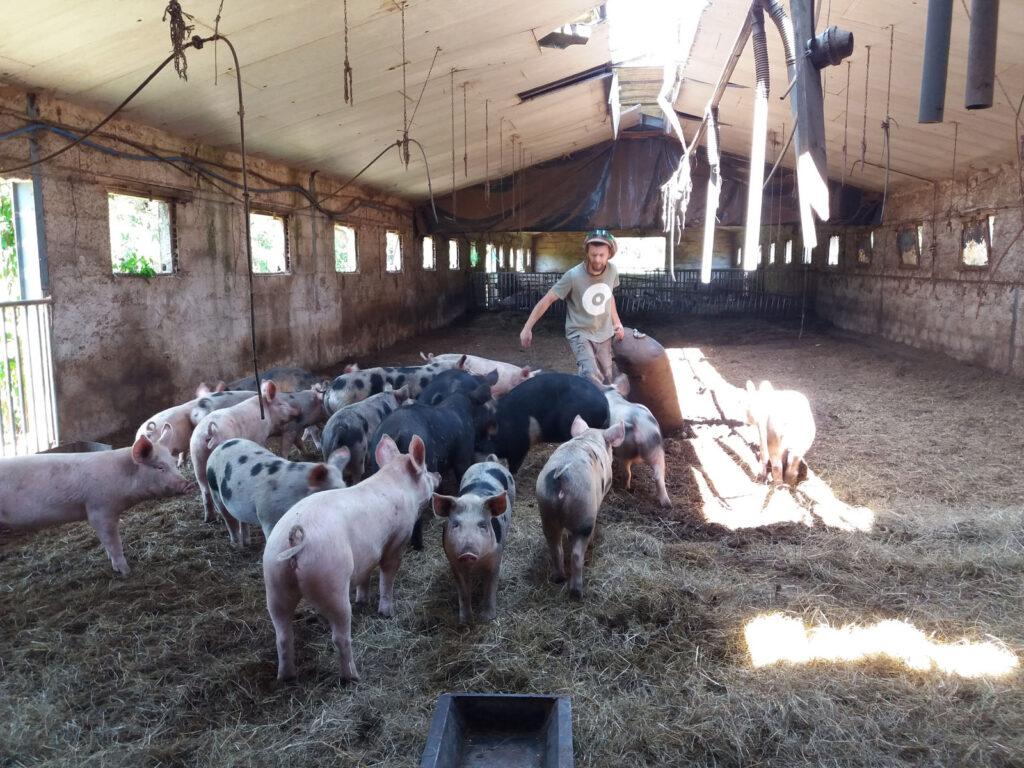L'espace des porcs mâles